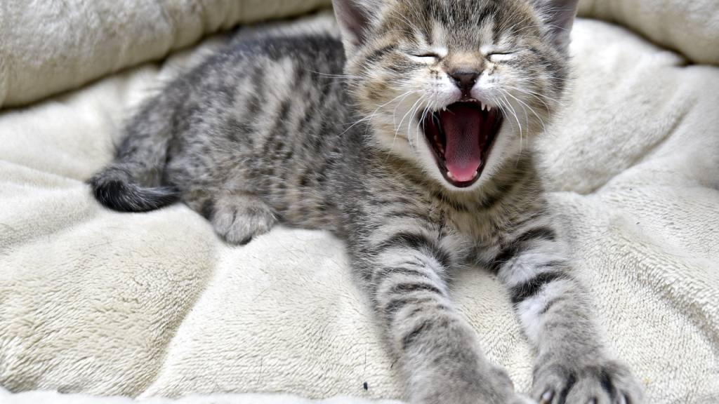Katzen müssen auch künftig nicht mit einem Chip versehen werden. Der Nationalrat hat eine Chip-Pflicht abgelehnt.
