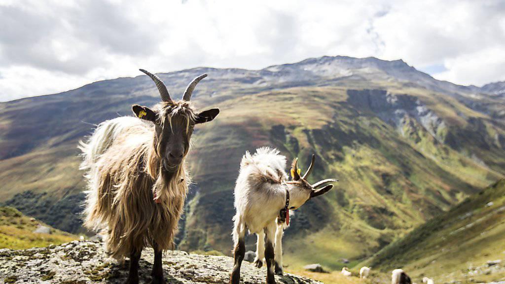 Ob Ziegen glücklich sind, lässt sich aus ihrem Meckern heraushören. (Archivbild)