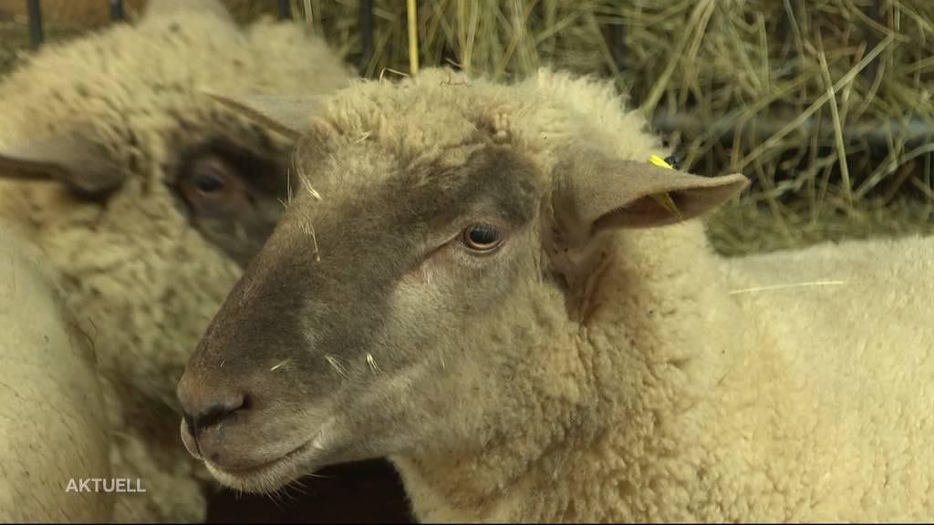 Wolf oder Hund? 5 Schafe in Niederweningen gerissen