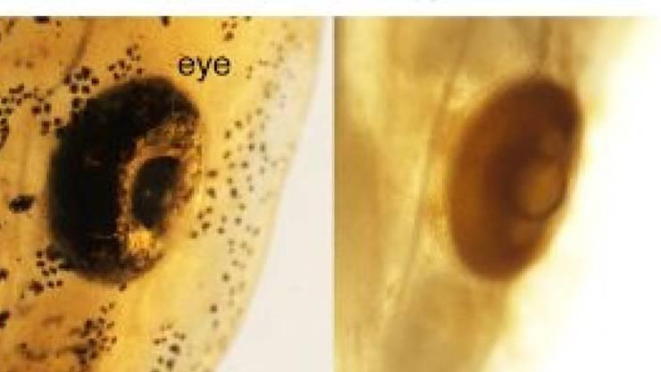 Wiener Forscher erleichtern das Durchleuchten von Organismen, indem sie sie mit einfachen Mitteln entfärben und transparent machen. Hier ein Axolotl-Auge mal ohne, mal mit Bleichung (zVg)