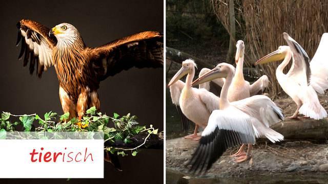 Tiere im Fokus / Frühlingsgefühle im Pelikan-Gehege