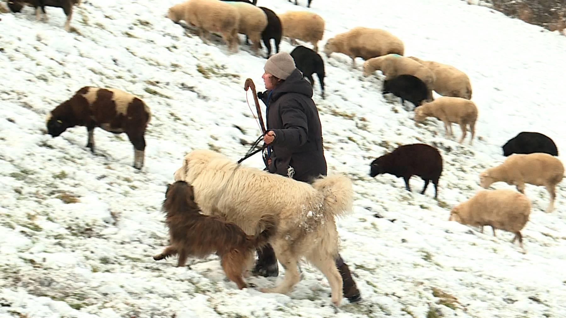 Hüterin über 400 Schafe