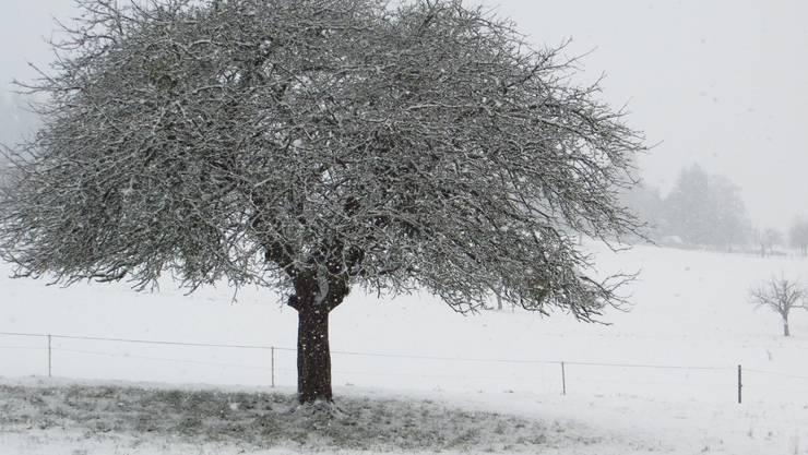 Der Apfelbaum, richtig, jetzt mit Schnee