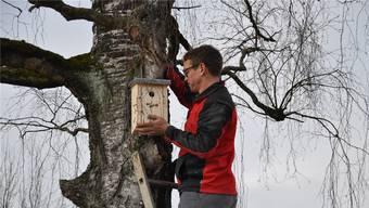 Timo Gisi beim Aufhängen eines Nistkastens an einem Baum an der Bünz.