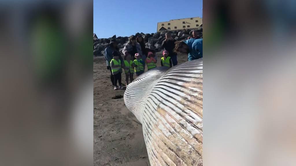 Ungewöhnlicher Fund in Island: Dutzende tote Grindwale entdeckt