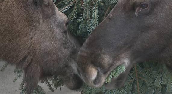 Carole und Fritz haben Christbäume zum Fressen gern – zum Glück!