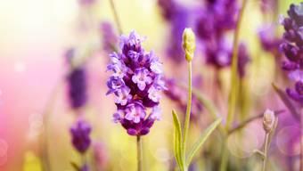 Der Lavendel ist ein Asket.  Bild: Shutterstock