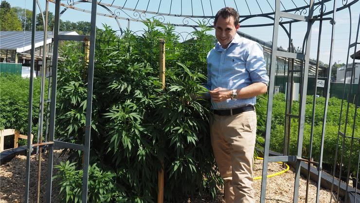 Auf Rekordjagd: In Zeiningen wächst bei Stevens Senn die grösste THC-arme Hanfpflanze der Schweiz. Im Herbst wird sie rund drei Meter hoch sein.