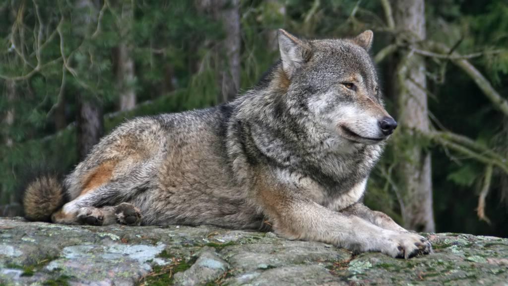 Wolf reisst mehrere Schafe