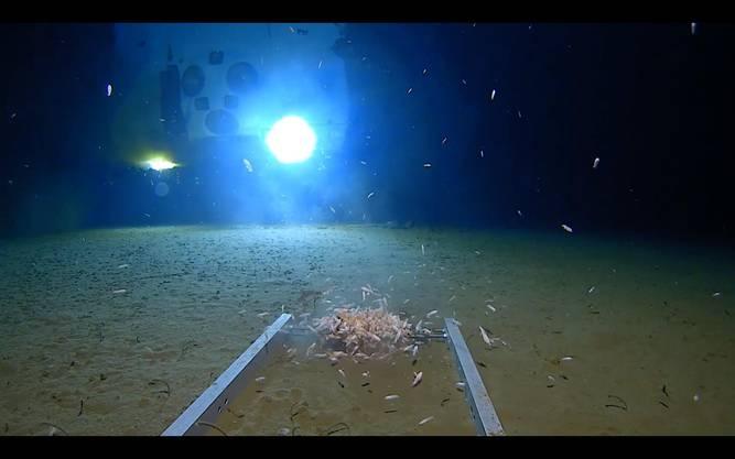 Tiefsee-Geschöpfe auf dem Meeresgrund. Vescovo fand nach eigenen Angaben drei unbekannte Tierarten.