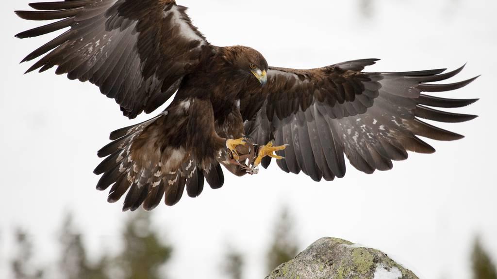 Steinadler macht Jagd auf Hühner
