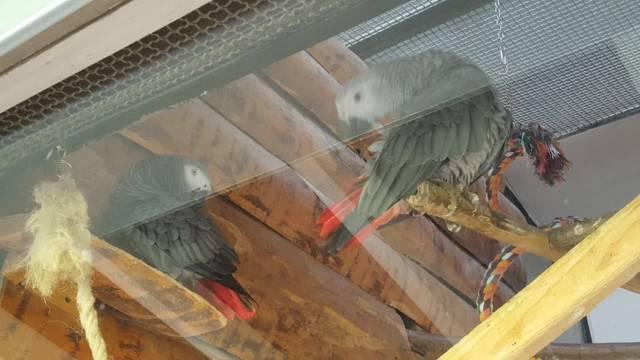 Nun gibt es zwei Graupapageien in der Voliere Solothurn – statt zwei Männchen aber ein Männchen und ein Weibchen.