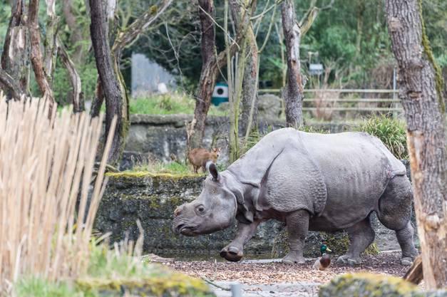 Als Saar 2016 im Zoo Basel ankam, war das eine kleine Sensation. Es war erst das zweite Mal in der Zoogeschichte, dass der Zoo Basel eine Panzernashorn-Kuh für die eigene Zucht importierte.