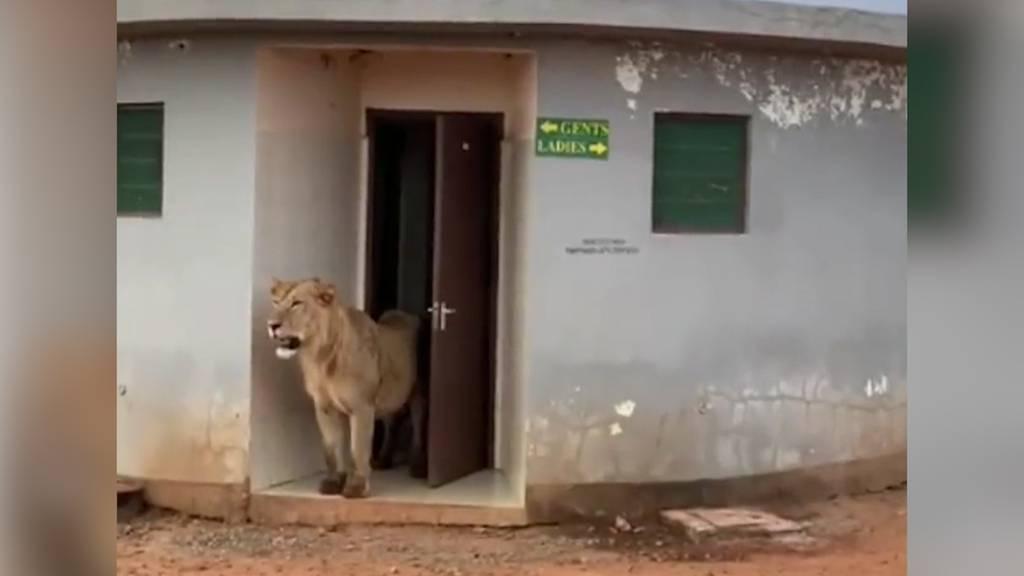 Löwe spaziert aus öffentlicher Toilette in Indien