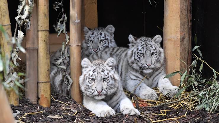 Im Siky Parc leben jetzt drei weisse Tiger-Babys