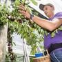 Erntehelfer haben auf der Kirschbaumplantage des Reigoldswiler Obstbauern Hansruedi Wirz momentan alle Hände voll zu tun.