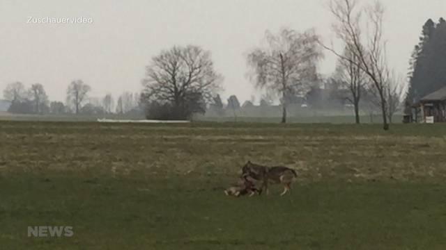Wolf in Trimstein gesichtet