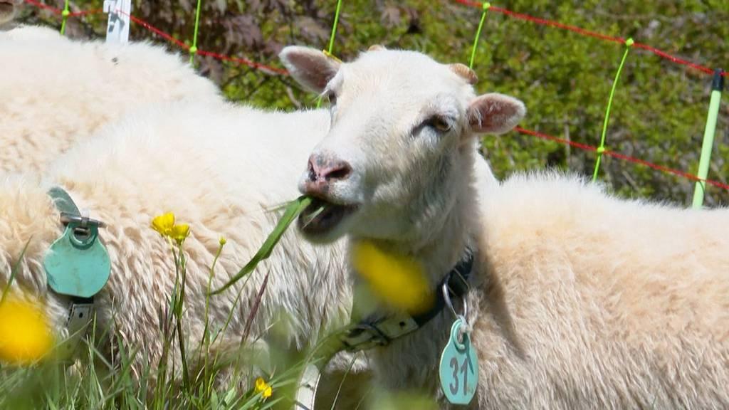 Findiges Bauernpaar vermietet Schafe als leise Rasenmäher