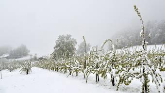 Der jüngste Kälteeinbruch der Region (hier in Bretzwil) hat den Obstbäumen stark zugesetzt.