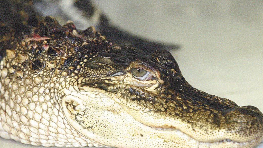 Warnung vor Alligatoren im Drogenrausch
