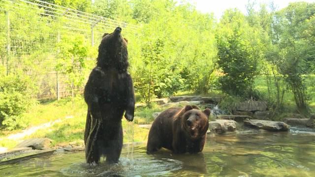 Bären essen Glacé