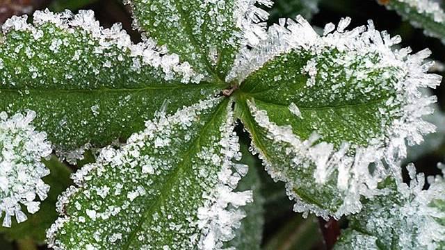 Eine von Frost überzogene Pflanze (Archiv)