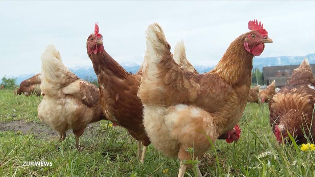 Rapperswil-Jona: Fuchs tötet zehn Hühner am helllichten Tag