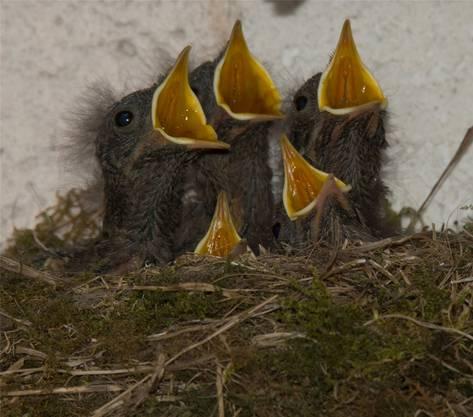 Die Rotschwanz-Fünflinge waren noch zu jung zum davonfliegen.