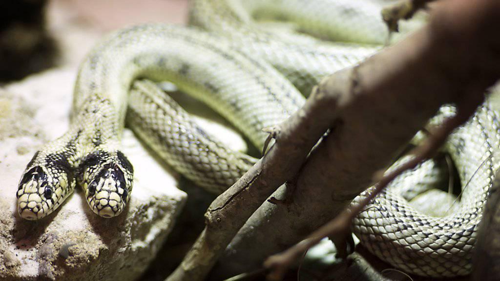 Die Schlange «Tom und Jerry» ist das Maskottchen der Reptilienausstellung, die derzeit in Villeneuve VD zu sehen ist.