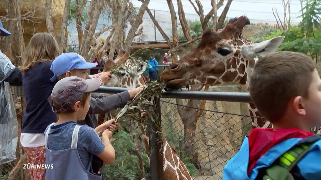 Zoo Zürich: Besucher können endlich Lewa-Tiere füttern