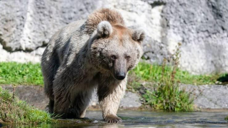 Braunbärin Laila streift im Natur- und Tierpark Goldau durch ihr neues Revier.