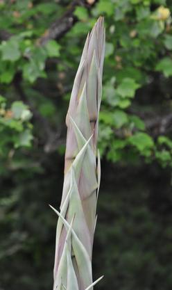 Der junge Blühtrieb sieht einer Spargel sehr ähnlich