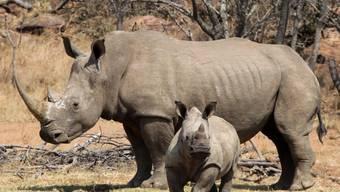 Zwei von sechs Spitzmaulnashörner, welche im Frühling in einem Nationalpark im Tschad angesiedelt wurden, sind verendet aufgefunden worden. Wilderei konnte ausgeschlossen werden.