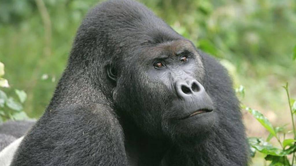Der Bestand des Grauergorillas ist laut WWF stark zurückgegangen.