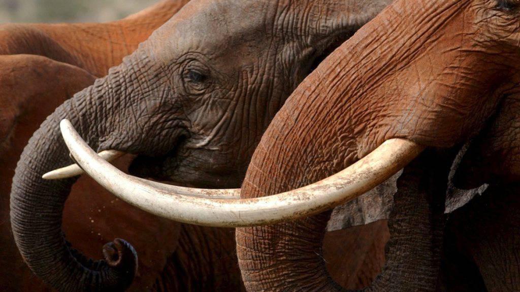 Im Chinko-Becken lebten einst 20'000 Elefanten, heute sind es noch 140. Im Bild: Elefanten im kenianischen Tsavo-East-Nationalpark.