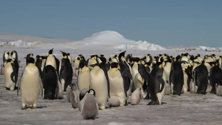 Kaiserpinguine in der Antarktis. Es gibt mehr davon, als angenommen. Entdeckt hat sie ein Satellit. Allerdings nicht die Tiere selbst, sondern ihre Exkremente (Pressebild)