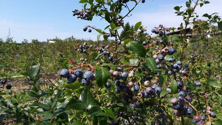 Reich an Vitaminen und kalorienarm: In Walterswil SO können die Heidelbeeren selber gepflückt werden.