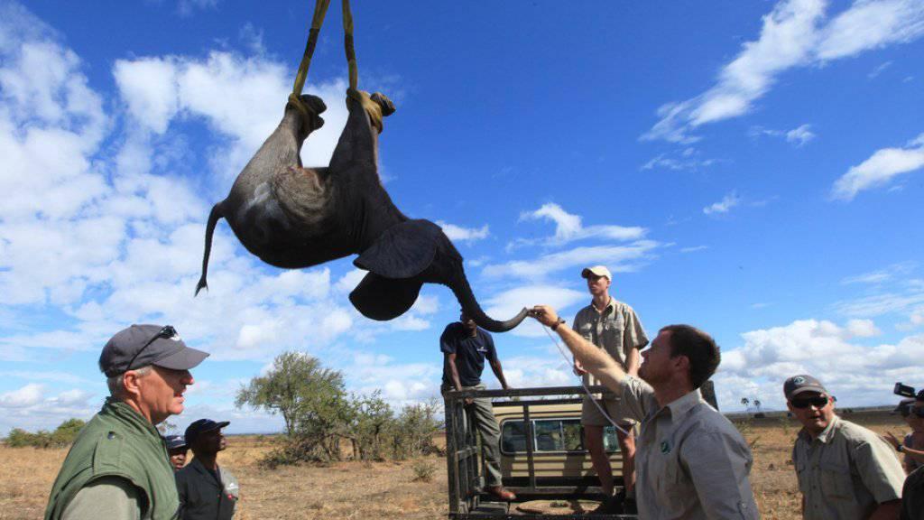 Aufwändige Umsiedlung: Ein Kran hebt einen Elefanten an den Füssen hoch. (Archiv)