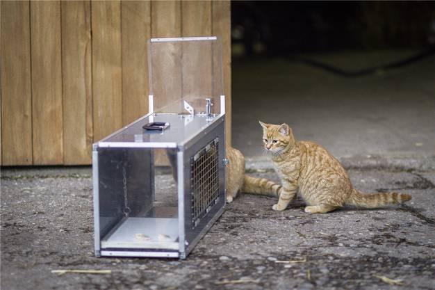 Zwei mutige Katzenbrüder wagen sich als Erste an die Falle heran, aus der es verlockend nach Essen duftet.