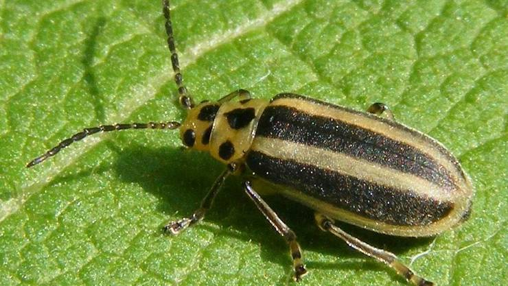 Trirhabda virgata - stammt aus der Familie der Blattkäfer. Einen deutschen Trivialnamen habe er nicht, sagt Wikipedia.
