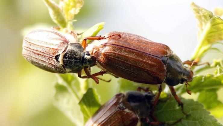 Nicht nur Bienen, sondern auch andere Insekten scheinen zunehmend auszusterben. (Symbolbild)