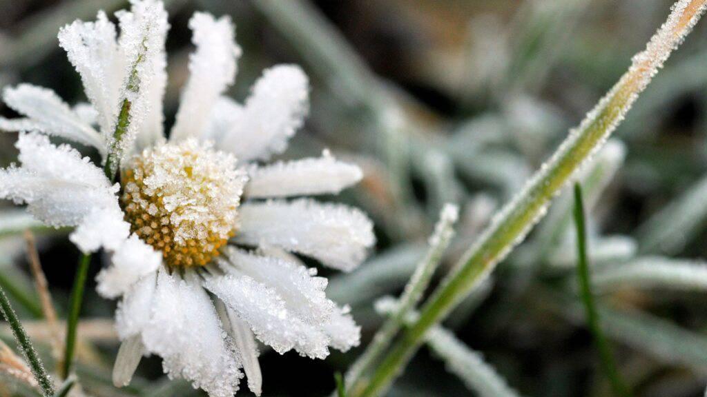 Servatius ist seinem Ruf als Eisheiliger mindestens im Toggenburg gerecht geworden. Dort gab es am frühen Auffahrtsmorgen bis minus 2,3 Grad Kälte.