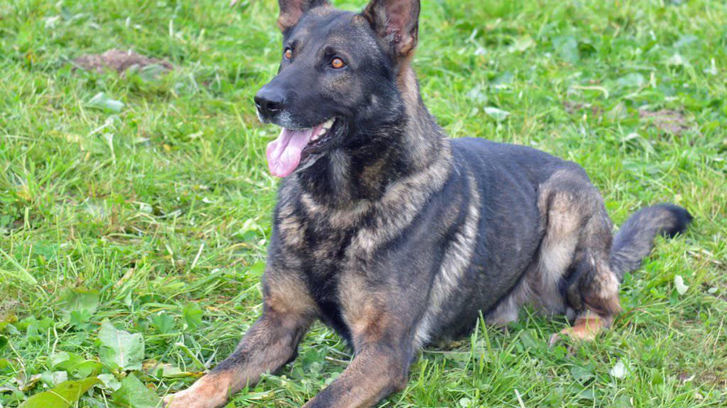 Ganze Arbeit geleistet: Polizeihund Ivo bringt flüchtigen Einbrecher in Reiden zur Strecke.