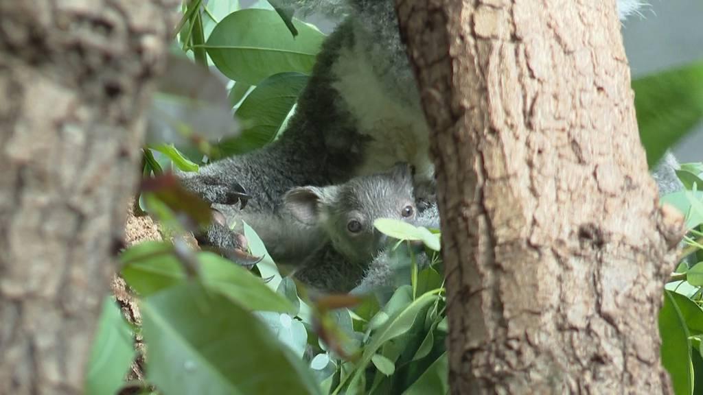 Premiere im Zoo Zürich: Nachwuchs bei den Koalas