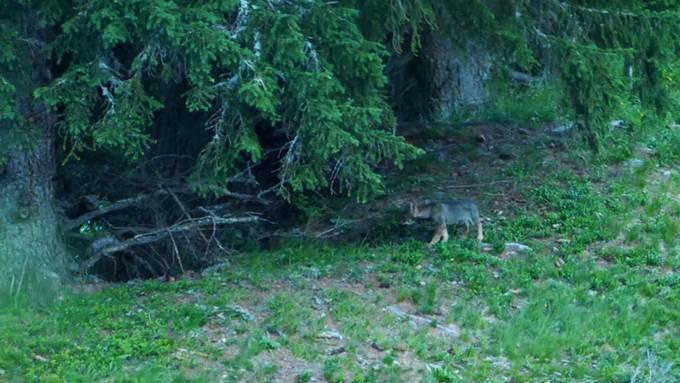 Einer der fünf Jungwölfe des dritten Rudels in Graubünden.