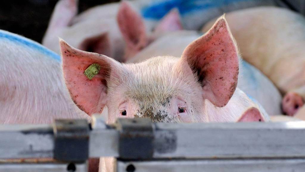 Weniger Stress und Leid bei Schlachtung: Bund strebt besseren Tierschutz an