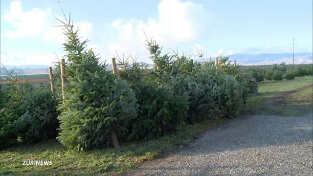 Trockener Sommer kann zu Christbaum-Engpass führen