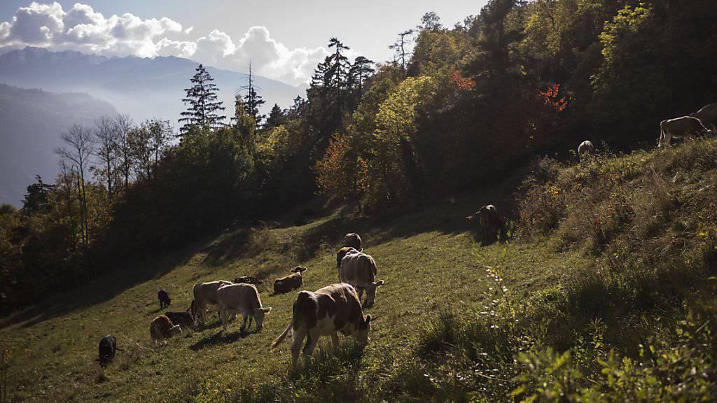 Das Wallis ist mehr als, was die Touristen gerne sehen - zum Beispiel Berge und Kühe. Dafür wollen die Walliser Museen mit einer neuen Ausstellung die Augen öffnen (Aufnahme: unterhalb von Lens im Oktober dieses Jahres).