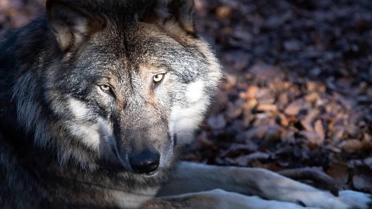 ARCHIV - Ein Wolf, der in Österreich innerhalb von drei Wochen 24 Schafe auf einer Alm gerissen haben soll, darf geschossen werden. (zu dpa «Wolf in Österreich darf wegen seiner Jagd auf Schafe getötet werden») Foto: Soeren Stache/dpa-Zentralbild/dpa