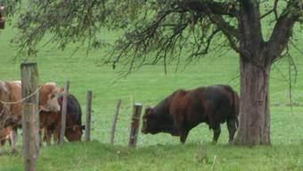 Der Stier ist wieder auf der Weide nach gelungener Rettung.